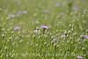 Am Basketflower, Centaurea americana, Wichita Mts OK (13)