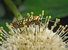 Ailanthus webworm moth on buttonbush, Wichita Mts OK (9)