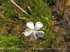White-flowered gillia, Ipomopsis longiflora (4)