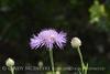 Am Basketflower, Centaurea americana, Wichita Mts OK (3)