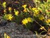 Lacy Tansyaster, Haplopappus spinulosus (Pursh) DC, Wichita Mts OK (1)