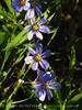 Blue-eyed grass (1)