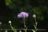 Am Basketflower, Centaurea americana, Wichita Mts OK (12)