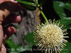 Ailanthus webworm moth on buttonbush, Wichita Mts OK (2)