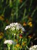 Meadow Garlic, Wichita Mts OK (2)