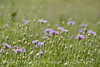 Am Basketflower, Centaurea americana, Wichita Mts OK (14)