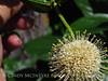 Ailanthus webworm moth on buttonbush, Wichita Mts OK (6)