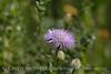 Am Basketflower, Centaurea americana, Wichita Mts OK (10)