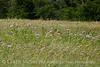 Am Basketflower, Centaurea americana, Wichita Mts OK (1)