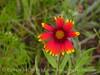 Blanket flower, Wichita Mts OK (1)
