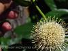 Ailanthus webworm moth on buttonbush, Wichita Mts OK (3)
