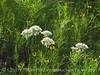 Meadow Garlic, Wichita Mts OK (6)