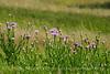 Am Basketflower, Centaurea americana, Wichita Mts OK (2)