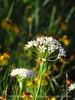 Meadow Garlic, Wichita Mts OK (3)