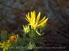 Lacy Tansyaster, Haplopappus spinulosus (Pursh) DC, Wichita Mts OK (2)