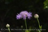 Am Basketflower, Centaurea americana, Wichita Mts OK (5)