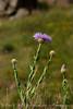 Am Basketflower, Centaurea americana, Wichita Mts OK (8)