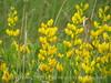 Yellow Wild Indigo Baptisia sphaerocarpa (6)
