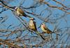 Scissortail flycatcher family, OK (12)