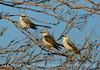 Scissortail flycatcher family, OK (9)