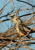 Scissortail flycatcher family, OK (2)