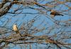 Scissortail flycatcher family, OK (7)