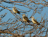 Scissortail flycatcher family, OK (10)