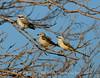 Scissortail flycatcher family, OK (11)