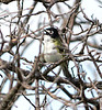 Black-capped vireo male (6)