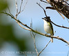 Black-capped vireo male (7)