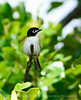 Black-capped vireo male (11)