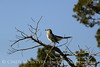 Mockingbird, Wichita Mts OK (9)