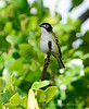 Black-capped vireo male (12)