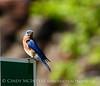 E Bluebird male, OK (2)