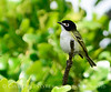 Black-capped Vireo 2 (1)