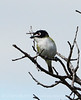 Black-capped vireo male (2)