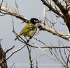 Black-capped vireo 4