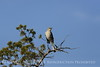Mockingbird, Wichita Mts OK (7)