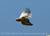 E Bluebird male, OK (1)