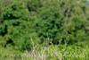 Redwing blackbird, Wichita Mts OK