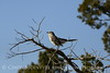 Mockingbird, Wichita Mts OK (8)