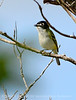 Black-capped vireo 5
