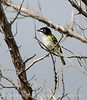 Black-capped vireo male (8)