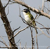 Black-capped vireo male (9)