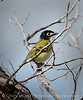 Black-capped vireo 3