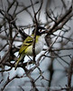 Black-capped vireo male (4)