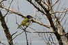 Black-capped vireo male (10)