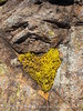 Sedum heart, Wichita Mts OK (2)