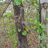 Grapevines on Gate_SS65670
