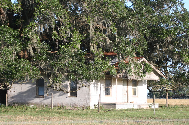 Old house appears to be being consumed by a large liveoak tree in rural Florida.